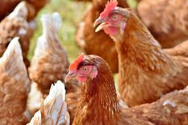 SIGNS OF ILL HEALTH IN CHICKEN